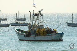The Mancora fishing fleet returns every morning with a fresh catch
